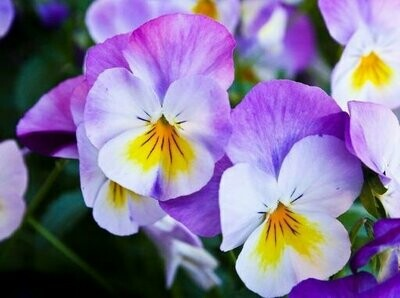 Pansy Purple Seeds (30 Seeds)