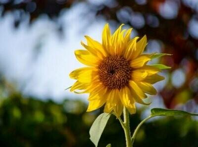 SunFlower Tall Seeds (5 seeds)