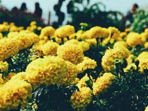 Yellow Marigold Seeds (10 seeds)