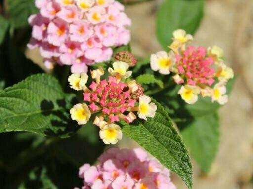 Verbena Mixed Seeds (10 seeds)
