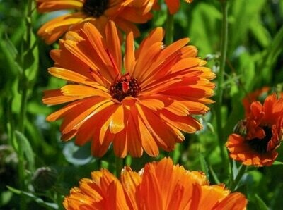 Calendula Pacific Beauty Seeds (10 seeds)