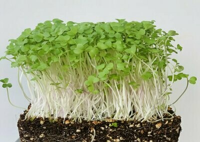 Microgreen Mustard Seeds(10gms)