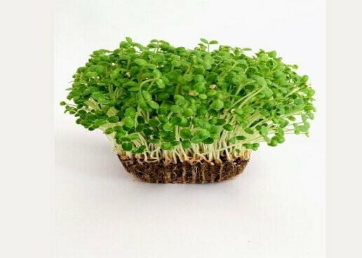 Microgreen Sesame Seeds(10gms)