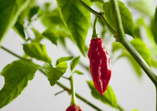 Ghost Pepper Seeds (10 Seeds)