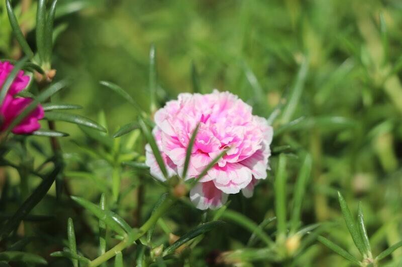 Portulaca Mixed Seeds (30 seeds)