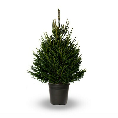 POTTED 125-150cm Christmas Tree