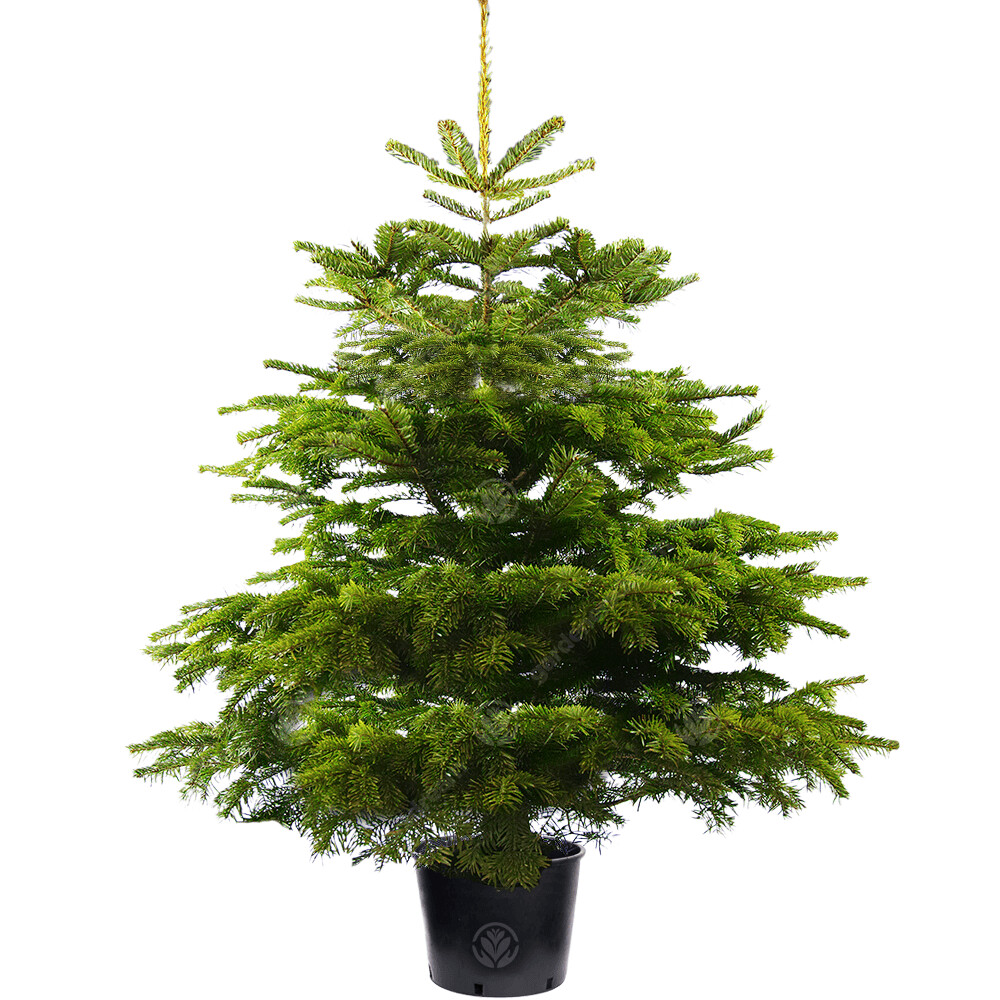 RENT-A-TREE! POTTED Christmas Tree