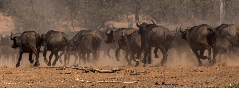 Wild Herd II