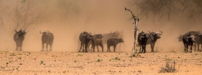 Wild Herd I