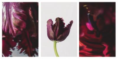 Purple Tulip Framed