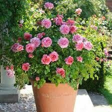 PRE-ORDER DAVID AUSTIN'S PRINCESS ALEXANDRA OF KENT  5 GAL SHRUB