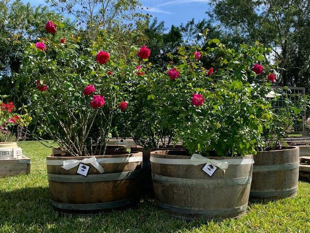 Wine & Roses: French Oak Barrel &  Shrub Arrangement