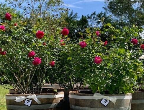 7 GAL Brindabella 'Purple Queen' Large Shrub Rose