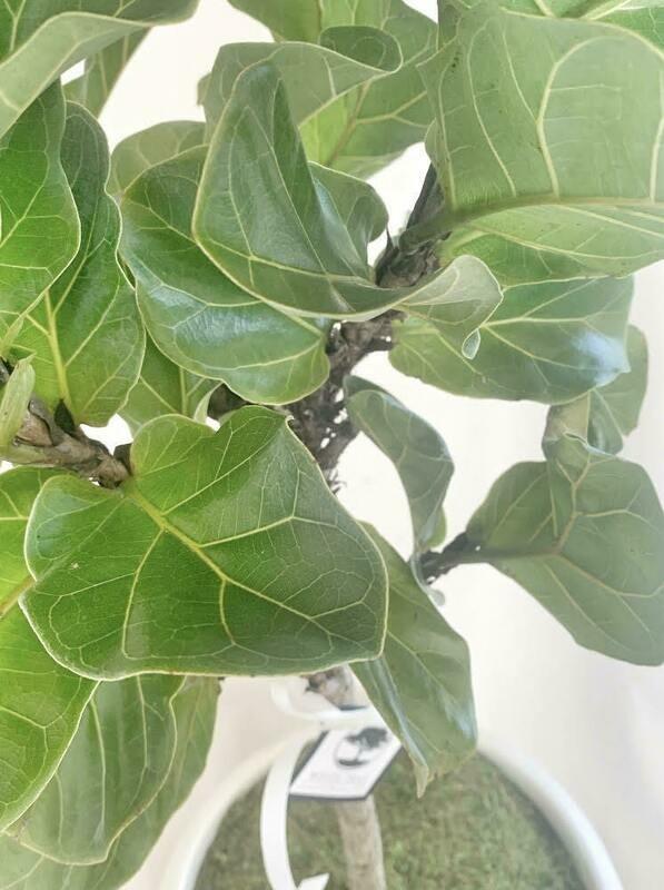 Dwarf Ficus Lyrata (SM 3-4') Fiddle Leaf Fig Tree Form