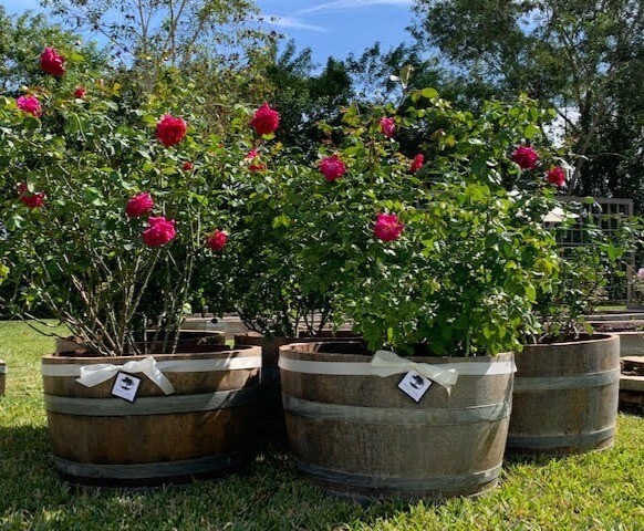 French Oak & Roses: French Oak Barrel Planter & Shrub Arrangement