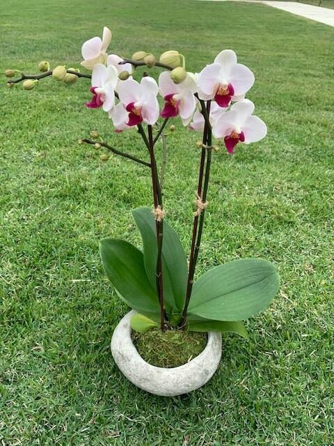 Petit Orchid Blossom