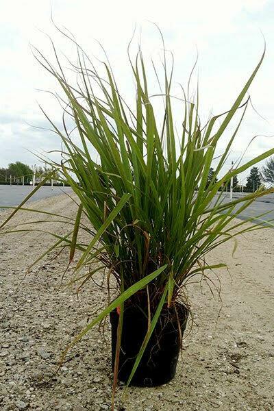 Fakahatchee Grass (Native)
