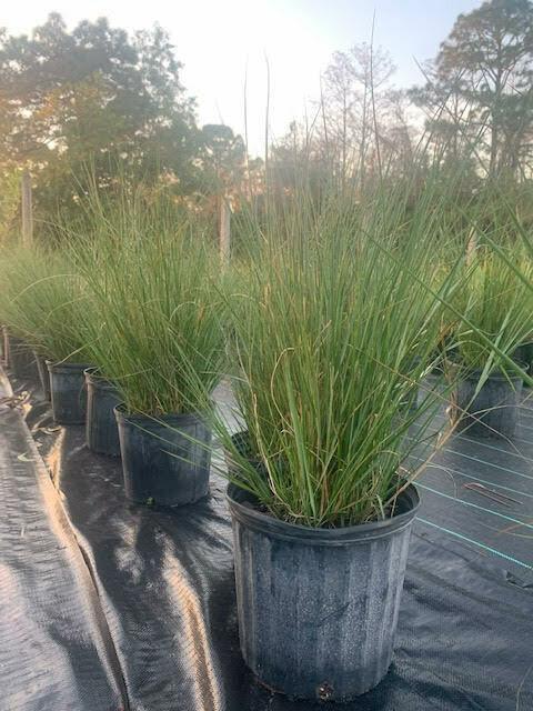 Sand Cord Grass