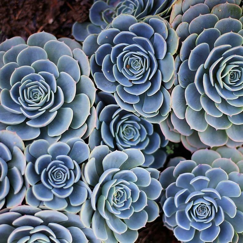 Echeveria Blue Rose