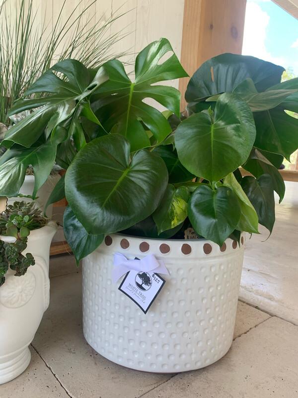 Shade Loving Monstera in White Dot Planter