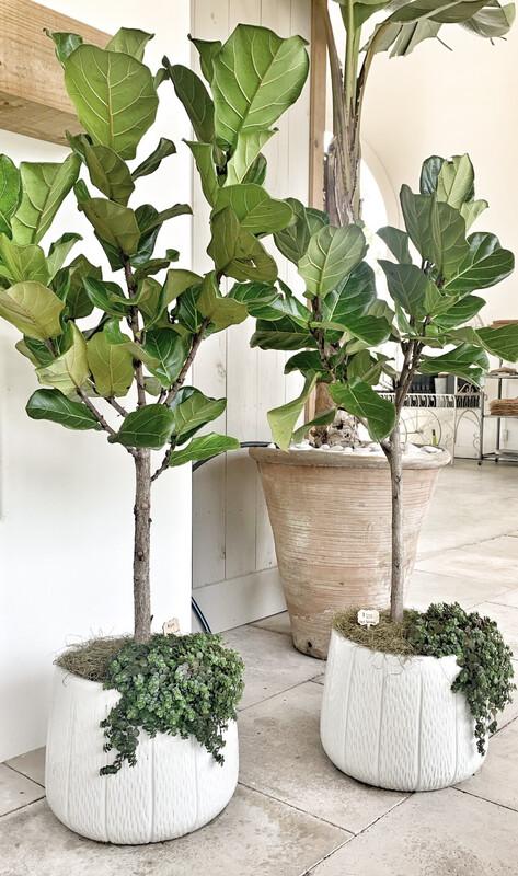 Fiddle Leaf Fig In Glazed White Striè Pot