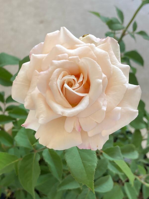 Belinda's Blush Shrub Rose