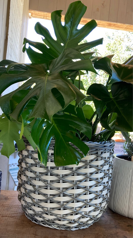 Monstera in Large All Weather Basket
