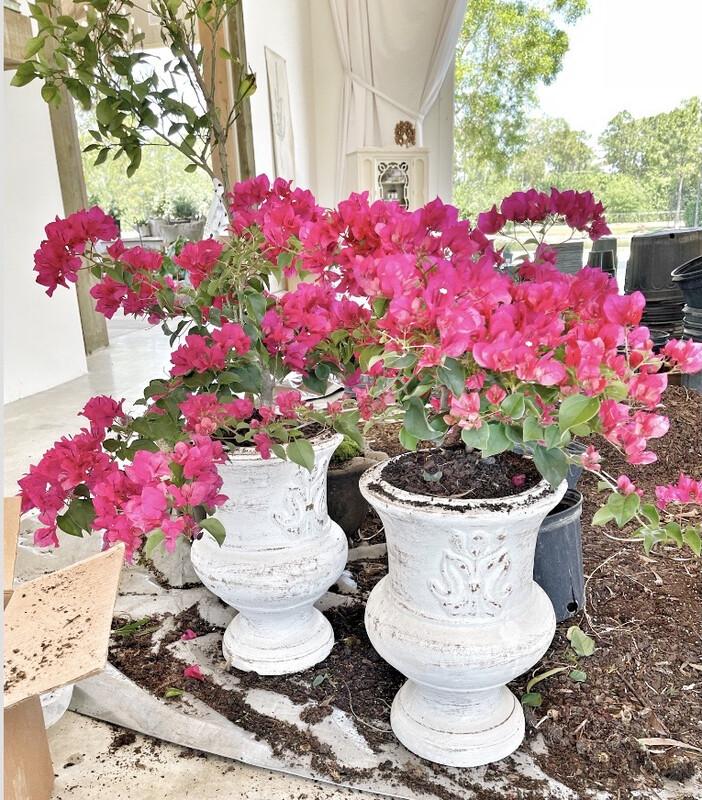 'Miami Pink' Bouganvillea in White Urn