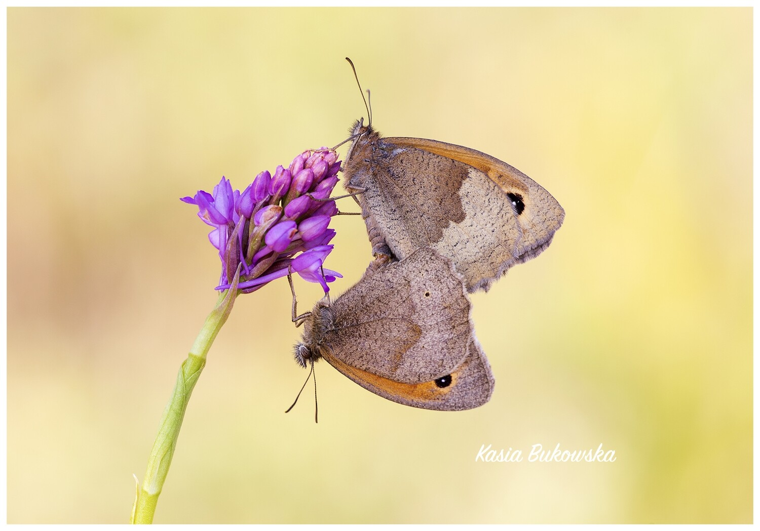 Meadow Browns on Orchid