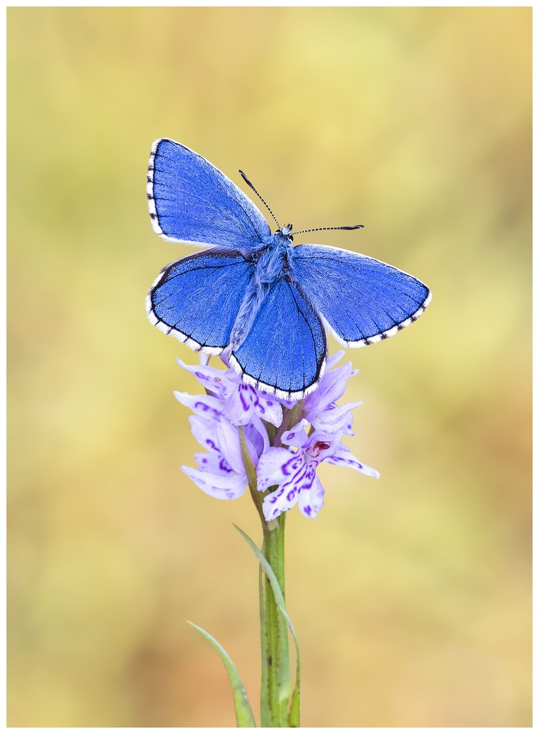 Adonis Blue on Orchid