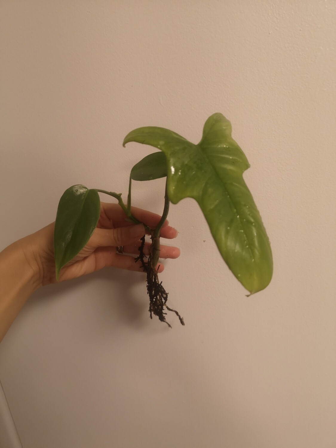 Horse Head Philodendron