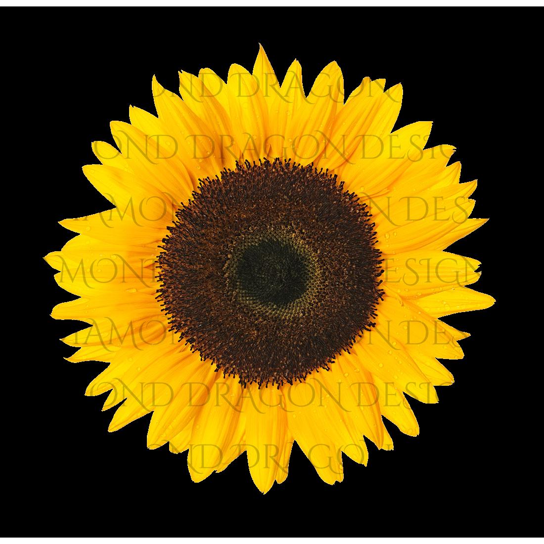 Sunflowers - Whole Sunflower, Waterslide