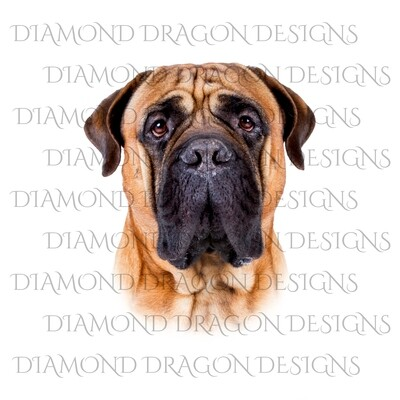 Dogs - Bull-mastiff Fade, Digital Image