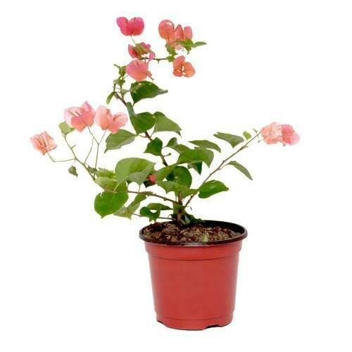 Plantas Y Flores Veraneras Medianas