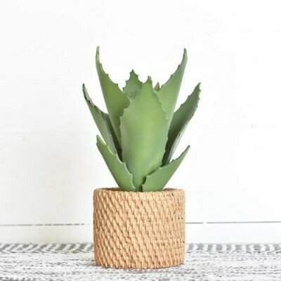 Aloe in Natural Pot