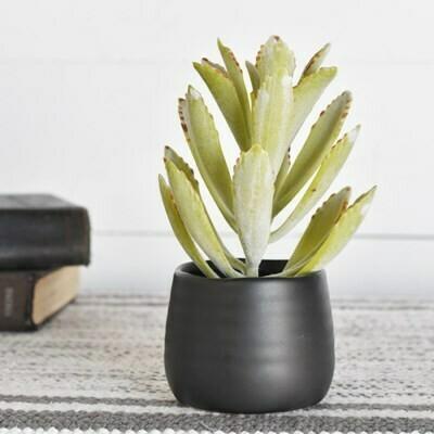 Lt Green Succulent in Black Ceramic Pot