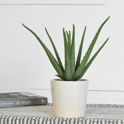 Tall Aloe Plant in Dual Tone Pot