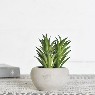 Agave Succulent in Pot