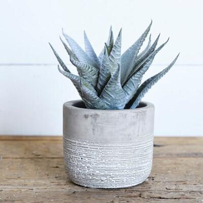 Aloe In Cement Pot