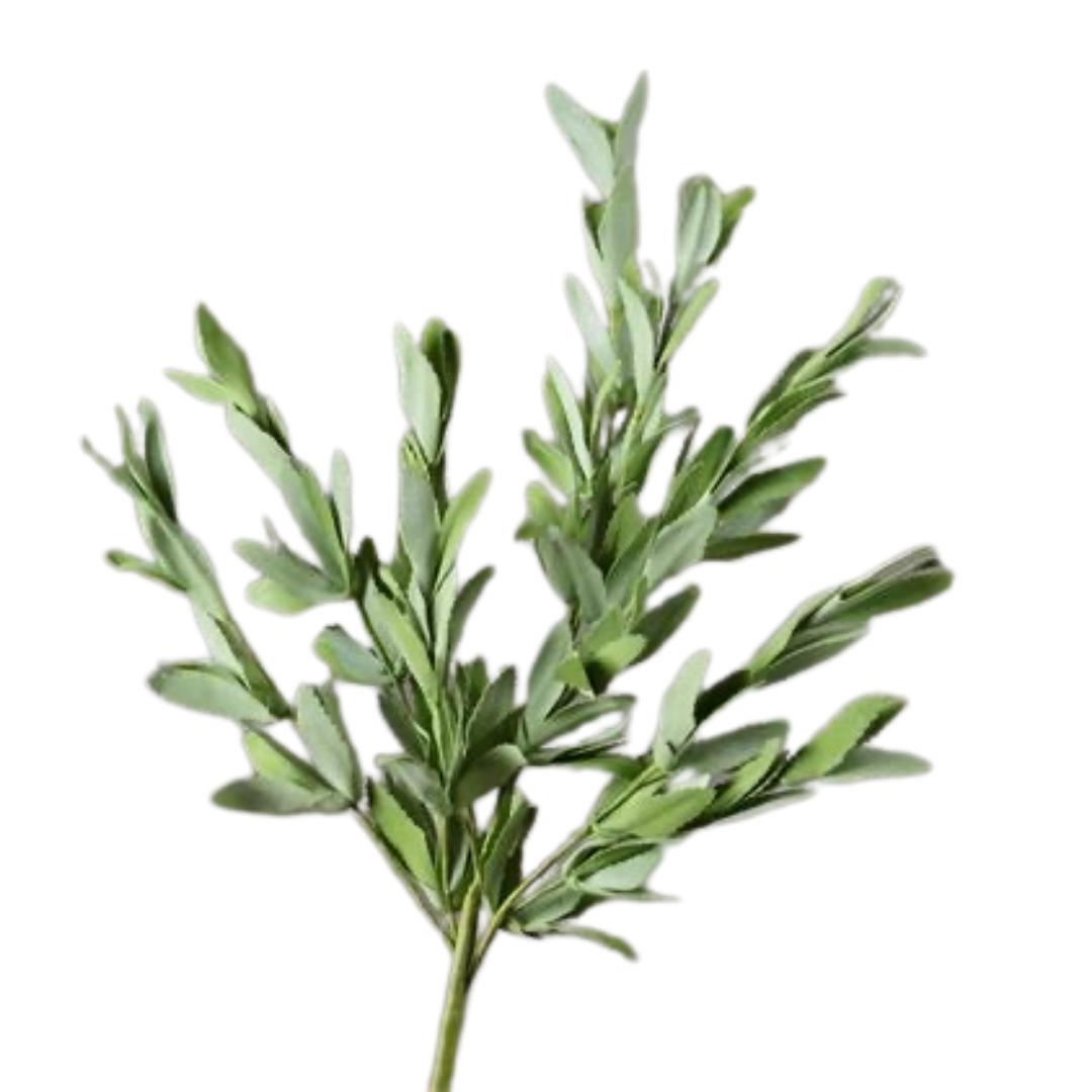 Herb Sage Branch