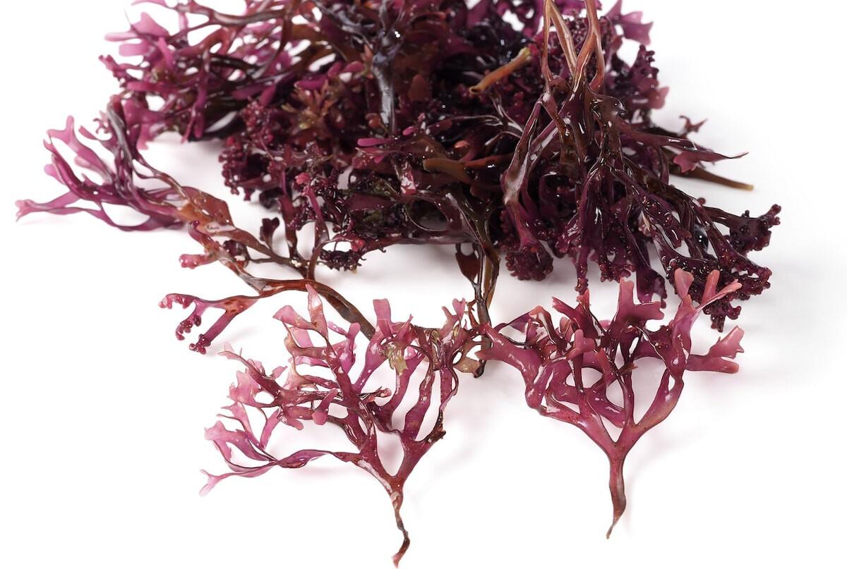 Ocean Grown Purple Sea Moss