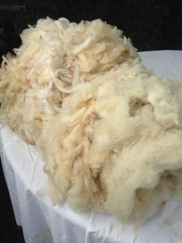 Portland ewe fleece; Waterman flock, Windsor 66