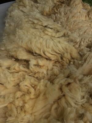 Portland shearling ewe fleece #516