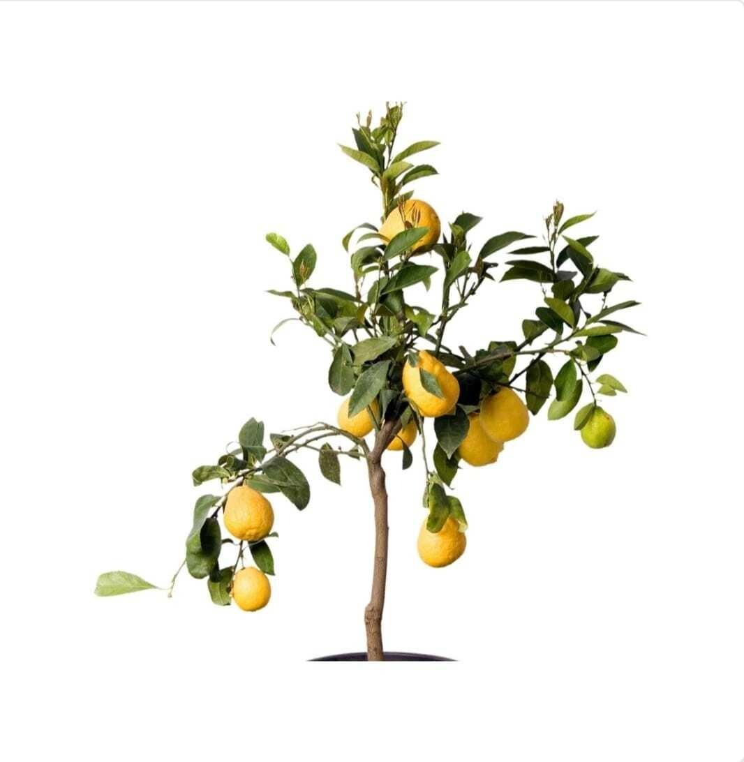 Lemon Tree Growing Kit