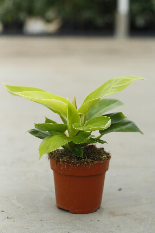 Philodendron Lemon Lime