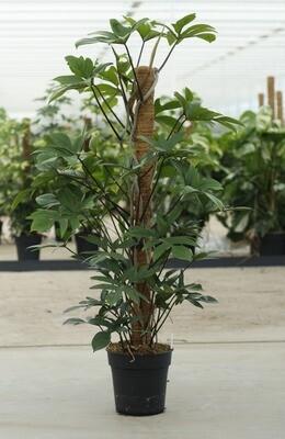Philodendron Pedatum mosstok 120cm