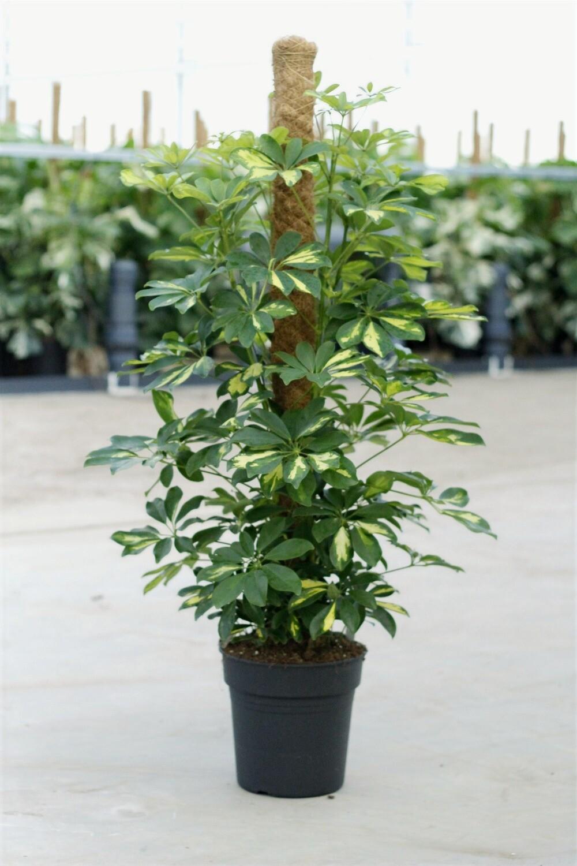 Schefflera arboricola gold capella 120 cm mosstok
