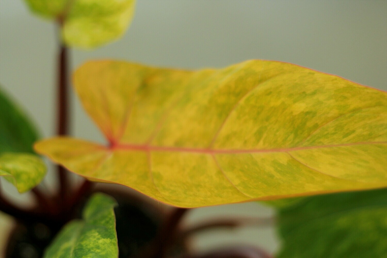 Philodendron 'Medisa' Painted Lady