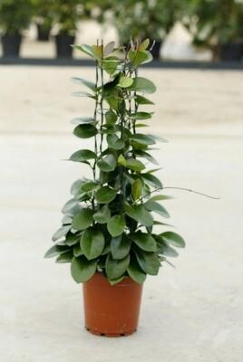 Hoya australis p24 hoogte 120 cm