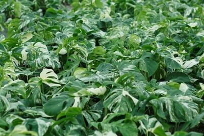 Chef's choice Monstera variegata top cutting L